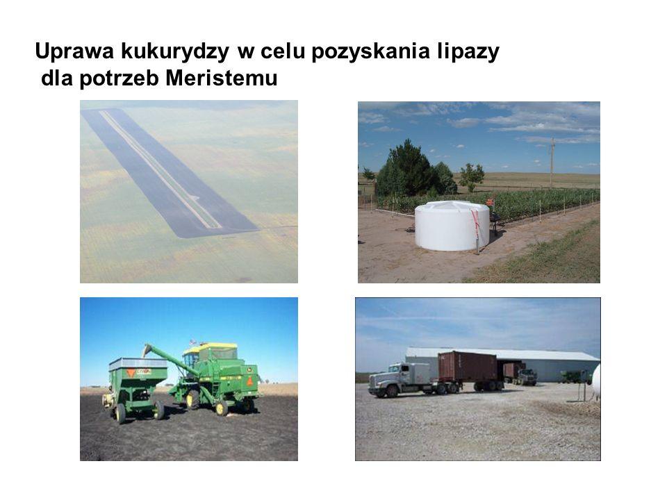 Uprawa kukurydzy w celu pozyskania lipazy dla potrzeb Meristemu