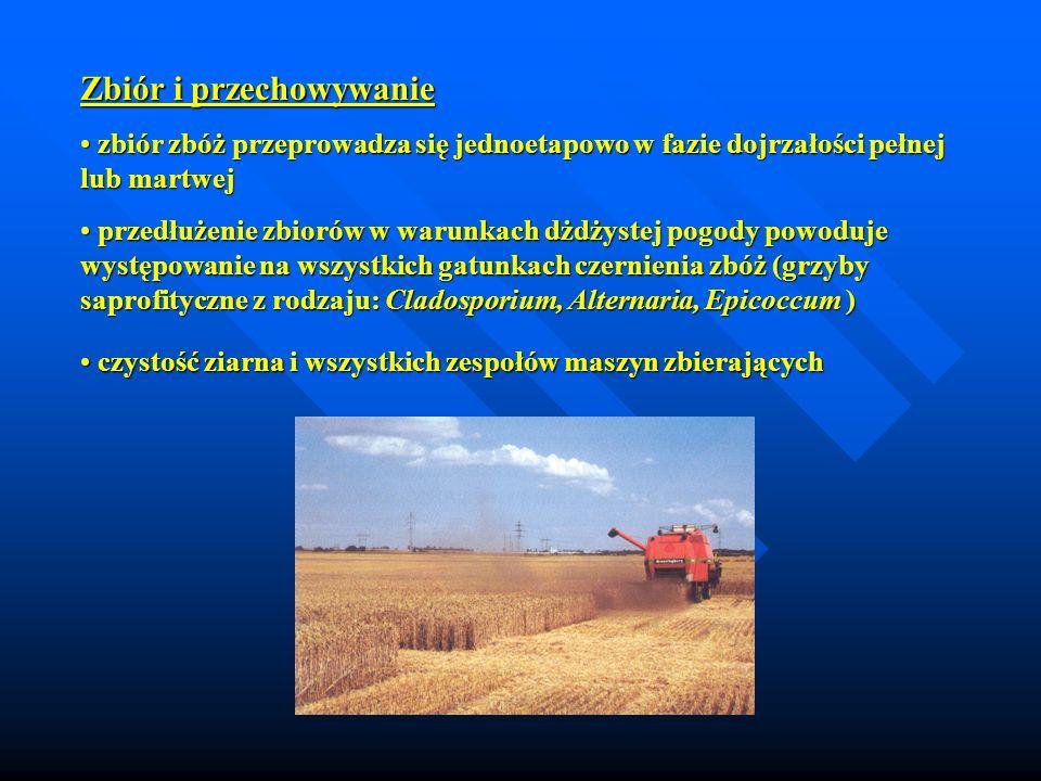 Zbiór i przechowywanie zbiór zbóż przeprowadza się jednoetapowo w fazie dojrzałości pełnej lub martwej zbiór zbóż przeprowadza się jednoetapowo w fazi
