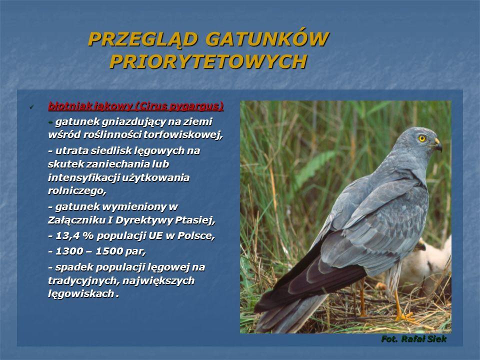 PRZEGLĄD GATUNKÓW PRIORYTETOWYCH błotniak łąkowy (Cirus pygargus) błotniak łąkowy (Cirus pygargus) - gatunek gniazdujący na ziemi wśród roślinności to