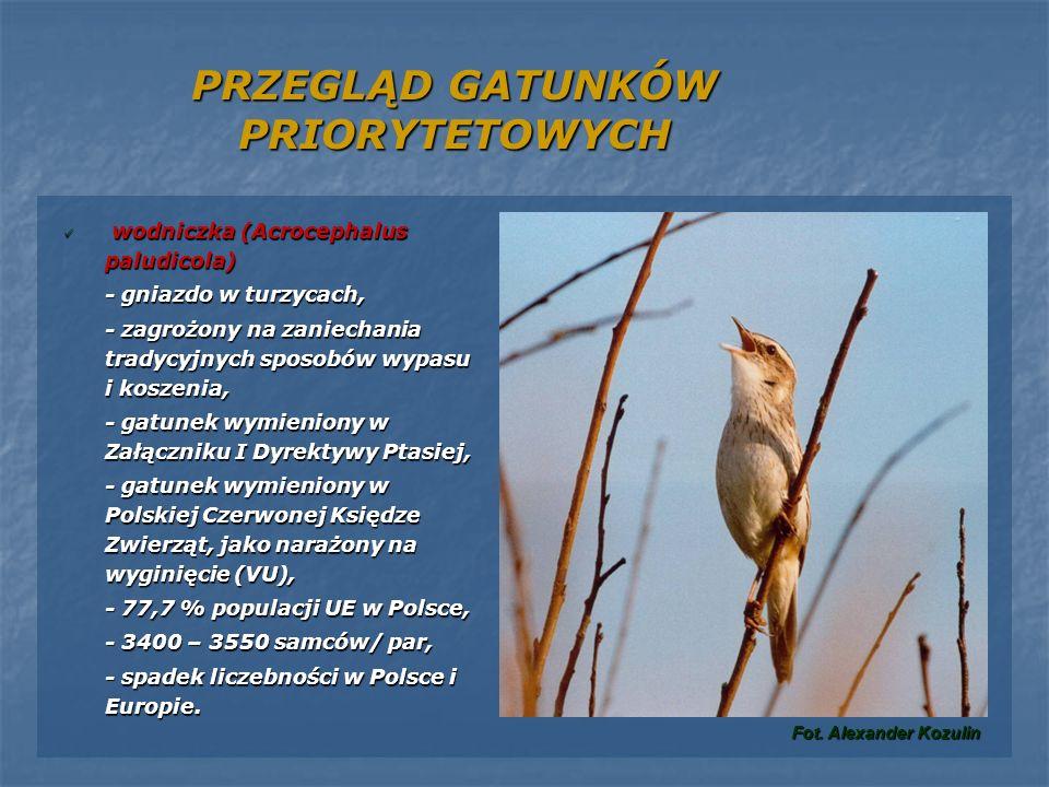 PRZEGLĄD GATUNKÓW PRIORYTETOWYCH wodniczka (Acrocephalus paludicola) wodniczka (Acrocephalus paludicola) - gniazdo w turzycach, - zagrożony na zaniech