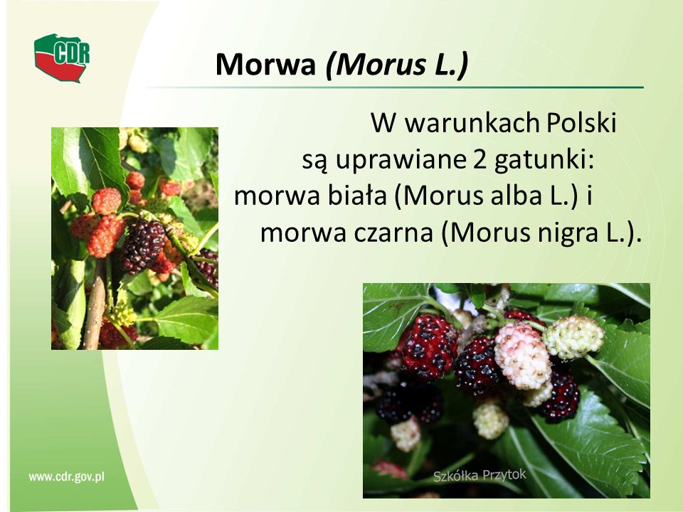 Morwa (Morus L.) W warunkach Polski są uprawiane 2 gatunki: morwa biała (Morus alba L.) i morwa czarna (Morus nigra L.).