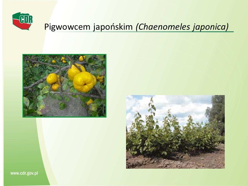Pigwowcem japońskim (Chaenomeles japonica)