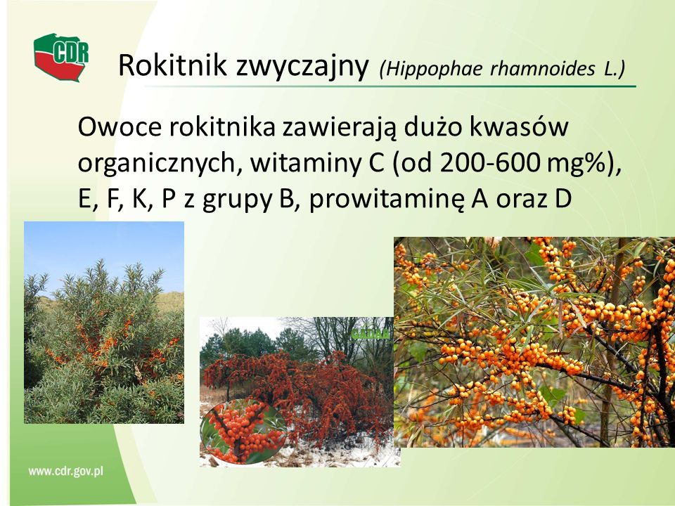 Rokitnik zwyczajny (Hippophae rhamnoides L.) Owoce rokitnika zawierają dużo kwasów organicznych, witaminy C (od 200-600 mg%), E, F, K, P z grupy B, pr