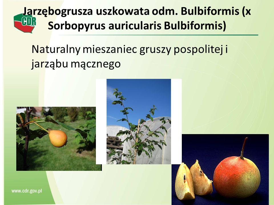 Jarzębogrusza uszkowata odm. Bulbiformis (x Sorbopyrus auricularis Bulbiformis) Naturalny mieszaniec gruszy pospolitej i jarząbu mącznego