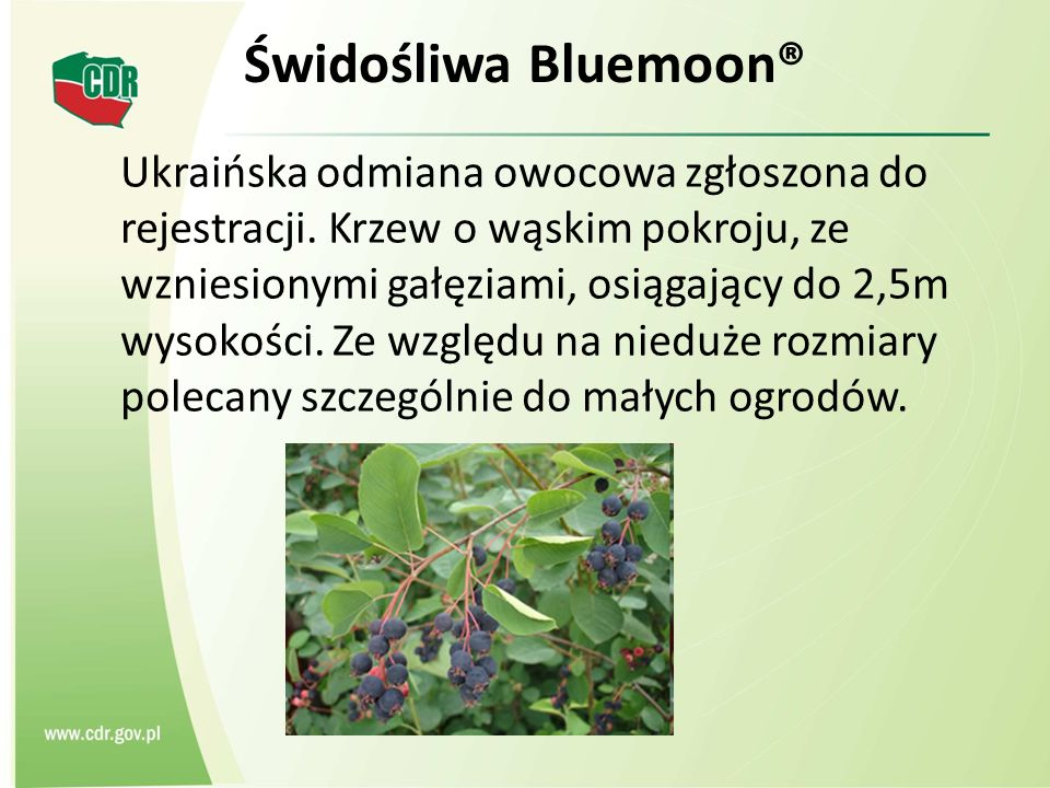 Świdośliwa Bluemoon® Ukraińska odmiana owocowa zgłoszona do rejestracji. Krzew o wąskim pokroju, ze wzniesionymi gałęziami, osiągający do 2,5m wysokoś