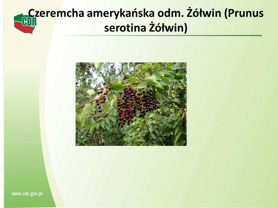 Czeremcha amerykańska odm. Żółwin (Prunus serotina Żółwin)