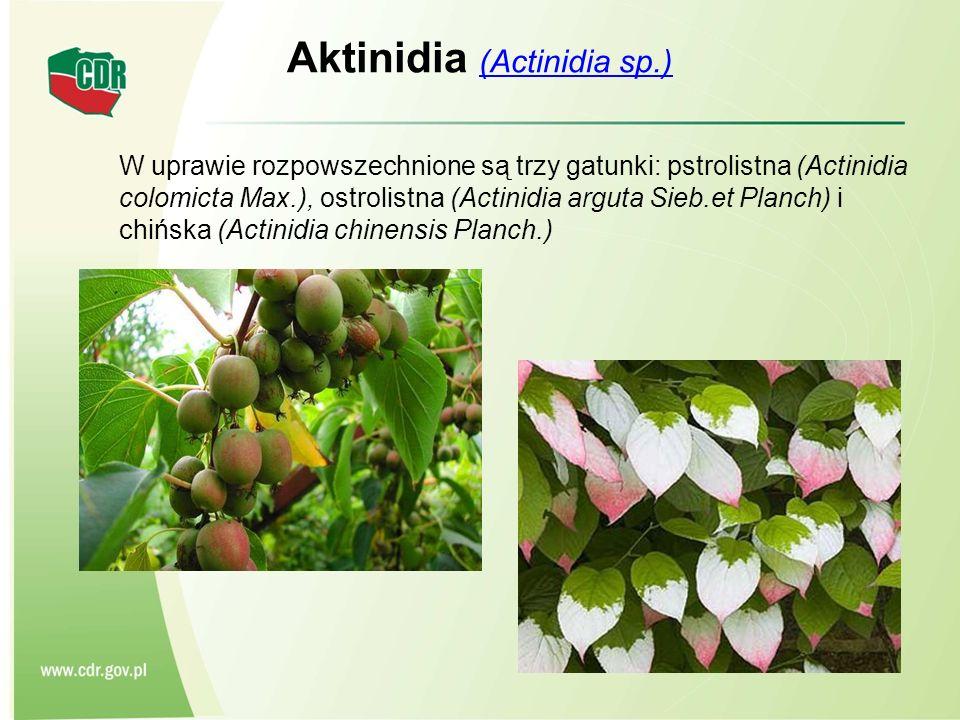 Aktinidia (Actinidia sp.) (Actinidia sp.) W uprawie rozpowszechnione są trzy gatunki: pstrolistna (Actinidia colomicta Max.), ostrolistna (Actinidia a