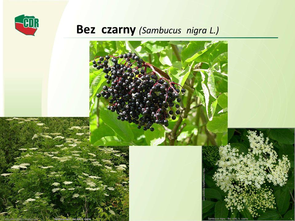 Bez czarny (Sambucus nigra L.)