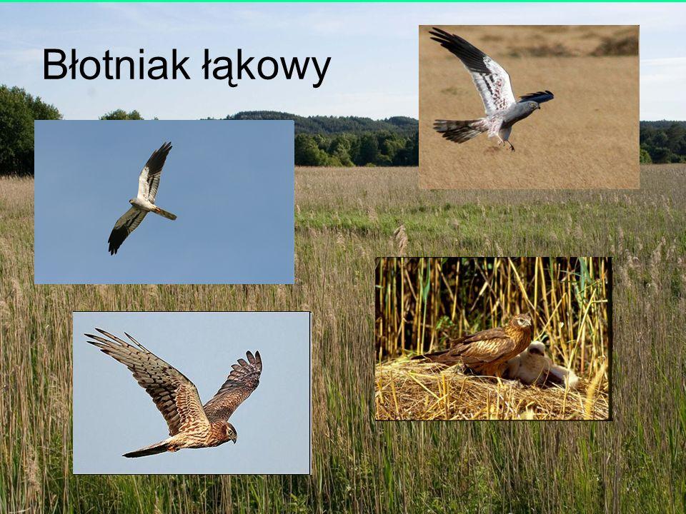 Ludwik Maksalon; Towarzystwo Badań i Ochrony Przyrody Błotniak łąkowy