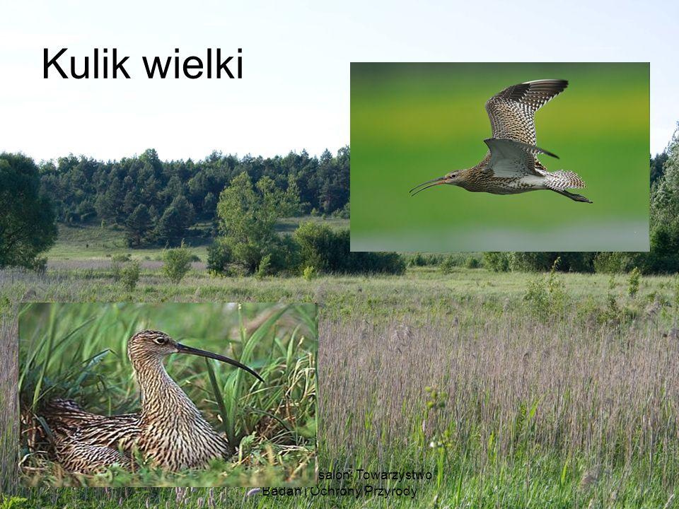 Ludwik Maksalon; Towarzystwo Badań i Ochrony Przyrody Kulik wielki