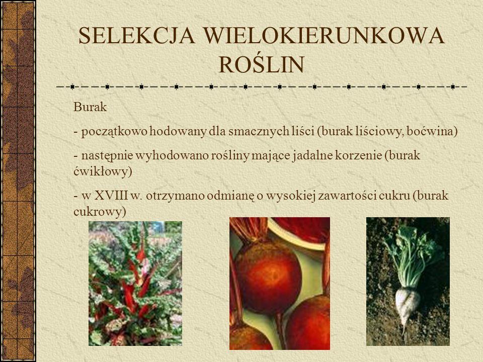 SELEKCJA WIELOKIERUNKOWA ROŚLIN II Kapusta - przodek kapusty uprawiany był ze względu na oleistość nasion.