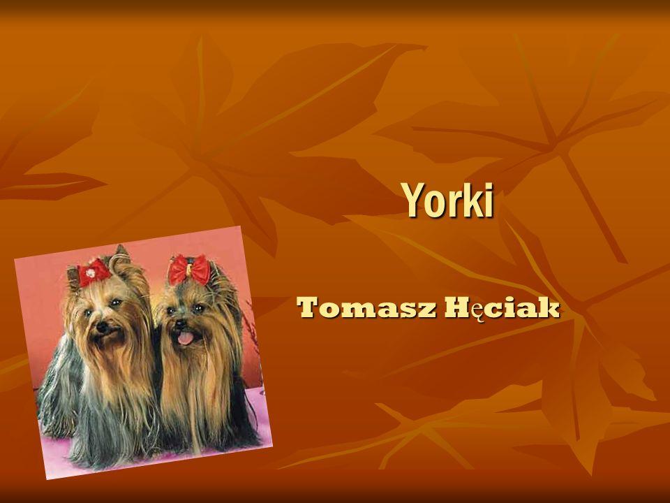 Historia Yorków Yorkshire Terrier – jedna z ras psów, nale żą ca do grupy terierów, zaklasyfikowana do sekcji terierów miniaturowych.