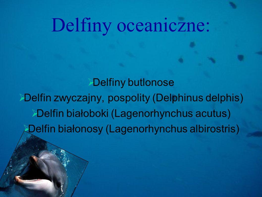 Delfiny oceaniczne: Delfiny butlonose Delfin zwyczajny, pospolity (Delphinus delphis) Delfin białoboki (Lagenorhynchus acutus) Delfin białonosy (Lagen