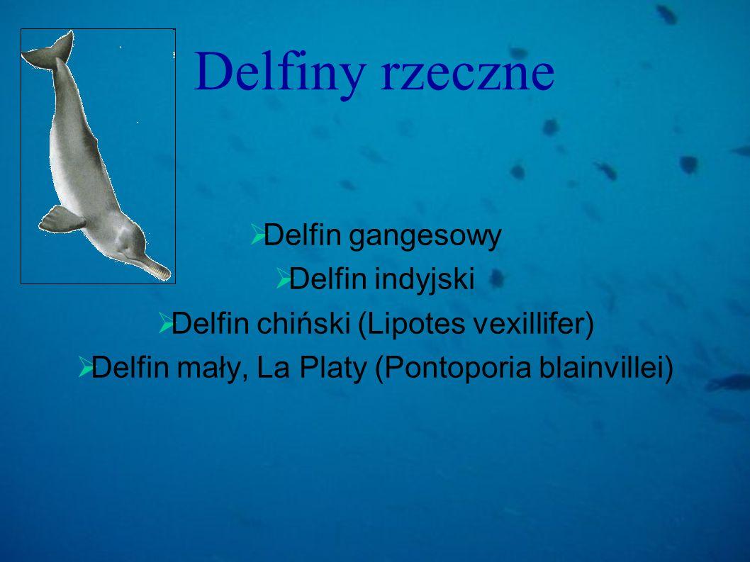 Delfiny rzeczne Delfin gangesowy Delfin indyjski Delfin chiński (Lipotes vexillifer) Delfin mały, La Platy (Pontoporia blainvillei)