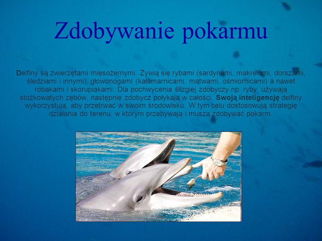 Zdobywanie pokarmu Delfiny są zwierzętami mięsożernymi. Żywią się rybami (sardynami, makrelami, dorszami, śledziami i innymi), głowonogami (kałamarnic