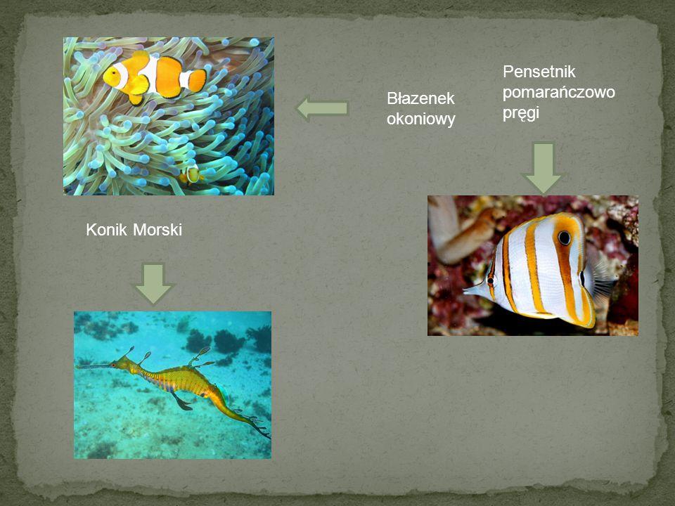 Błazenek okoniowy Pensetnik pomarańczowo pręgi Konik Morski