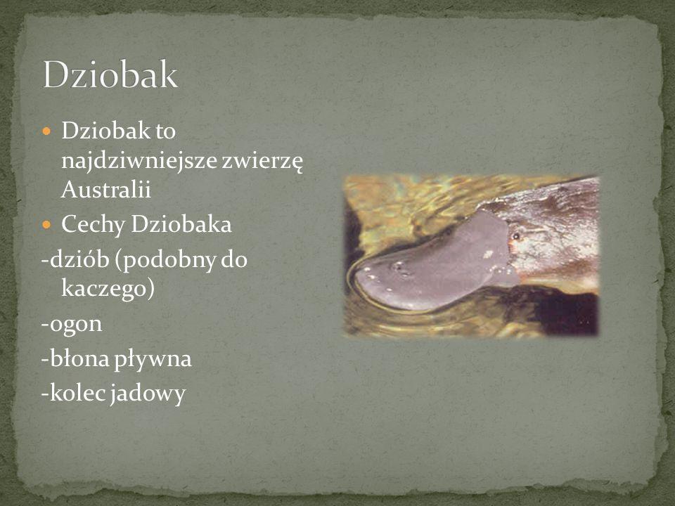 Dziobak to najdziwniejsze zwierzę Australii Cechy Dziobaka -dziób (podobny do kaczego) -ogon -błona pływna -kolec jadowy