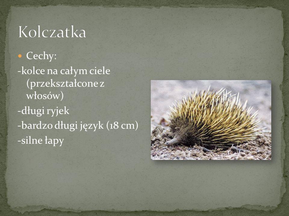 Cechy: -kolce na całym ciele (przekształcone z włosów) -długi ryjek -bardzo długi język (18 cm) -silne łapy