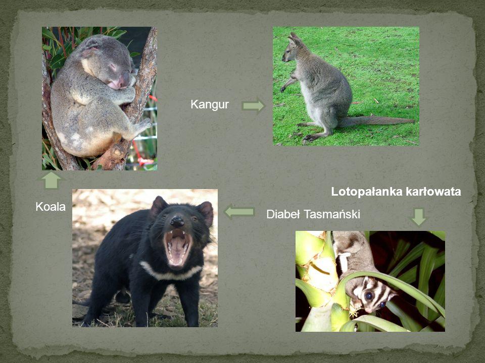 Koala Kangur Diabeł Tasmański Lotopałanka karłowata