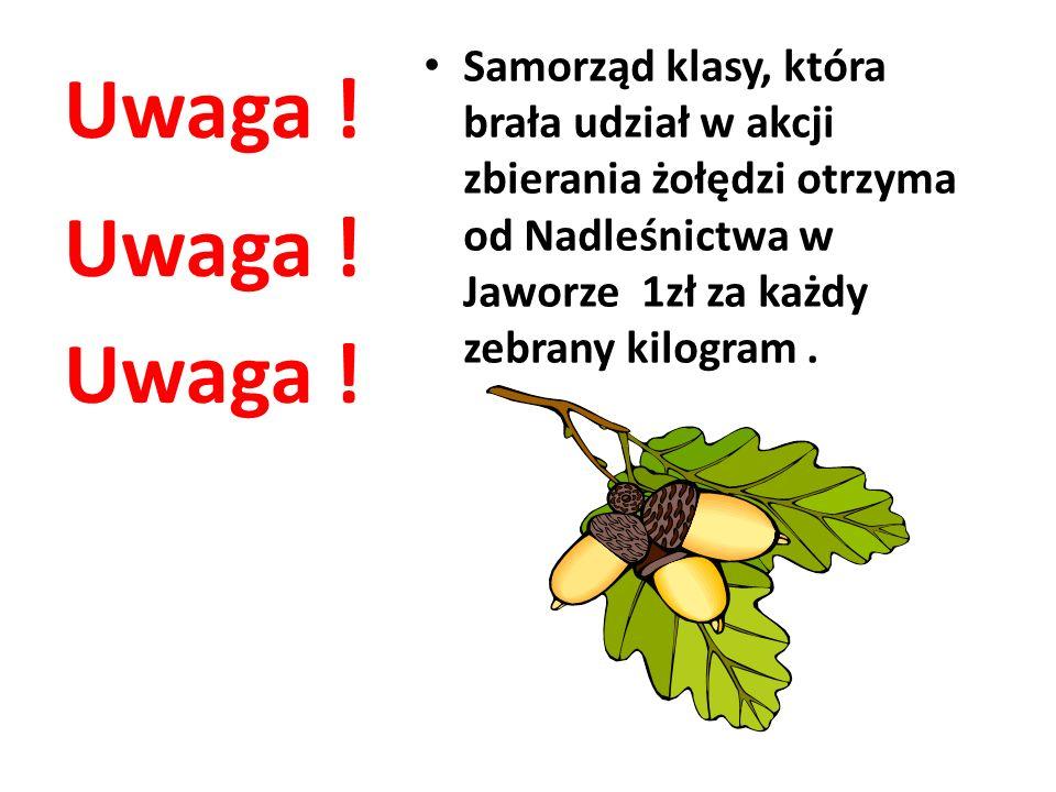 Uwaga ! Samorząd klasy, która brała udział w akcji zbierania żołędzi otrzyma od Nadleśnictwa w Jaworze 1zł za każdy zebrany kilogram. Uwaga !