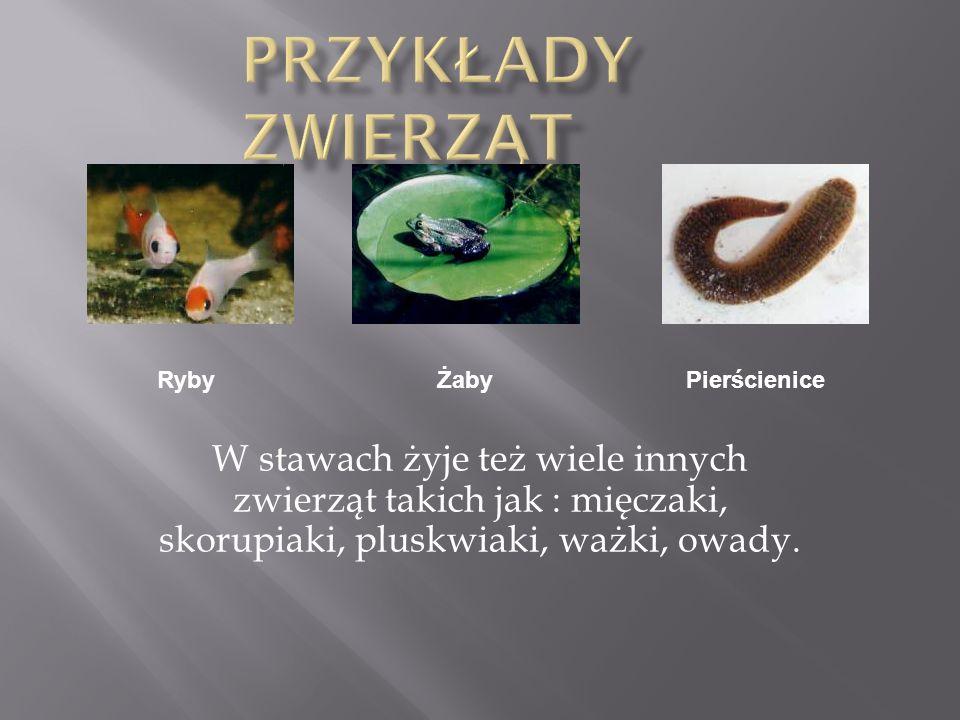 Możemy rozróżnić kilka typów roślin stawowych: - rośliny podwodne - rośliny swobodnie pływające - rośliny o liściach pływających Moczarka kanadyjska (Elodea canadiensis) Pływacz zwyczajny (utricularia vulgaris) Grążel żółty (Nuphar luteum)