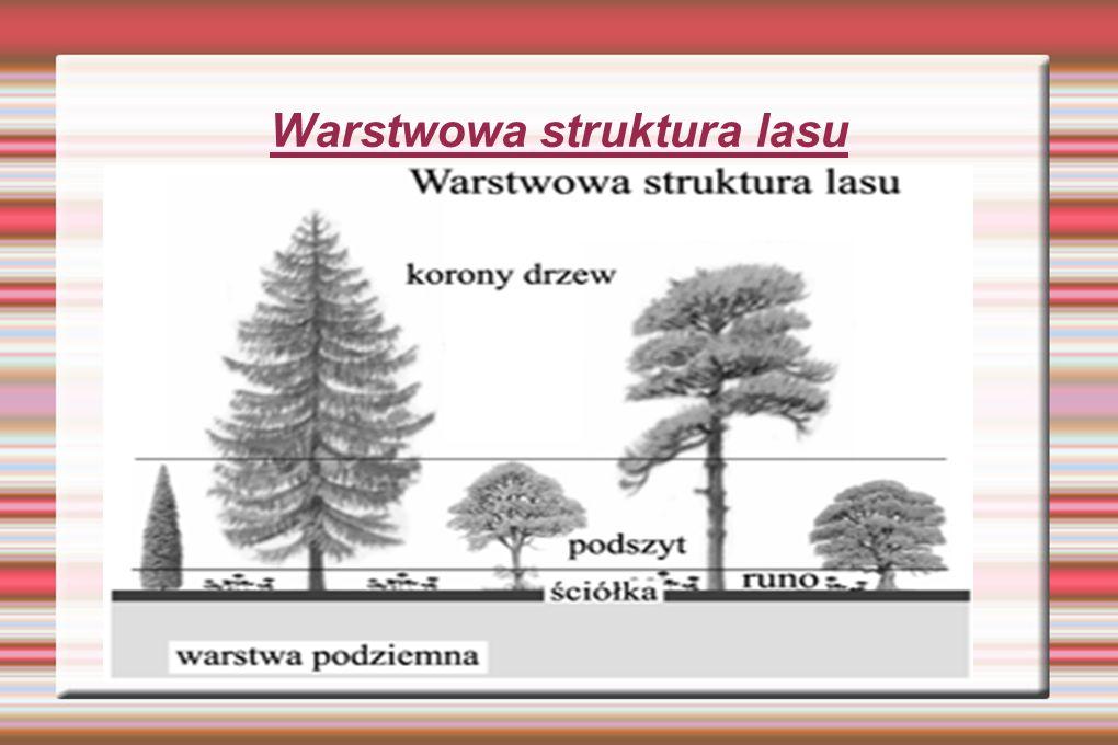 Warstwowa struktura lasu