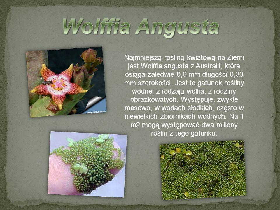 Najmniejszą rośliną kwiatową na Ziemi jest Wolffia angusta z Australii, która osiąga zaledwie 0,6 mm długości 0,33 mm szerokości. Jest to gatunek rośl