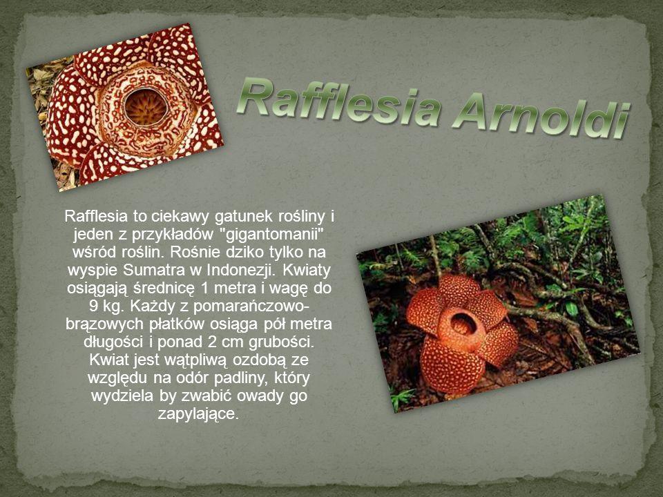 Rafflesia to ciekawy gatunek rośliny i jeden z przykładów
