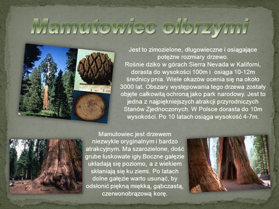 Jest to zimozielone, długowieczne i osiągające potężne rozmiary drzewo. Rośnie dziko w górach Sierra Nevada w Kaliforni, dorasta do wysokości 100m i o