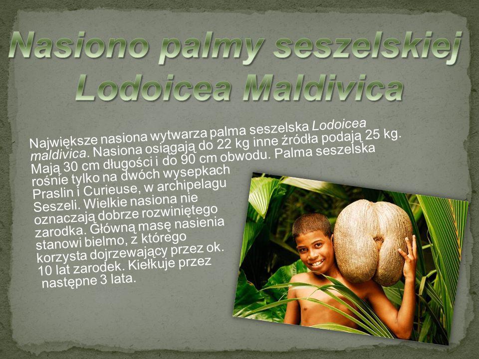 Największe nasiona wytwarza palma seszelska Lodoicea maldivica. Nasiona osiągają do 22 kg inne źródła podają 25 kg. Mają 30 cm długości i do 90 cm obw