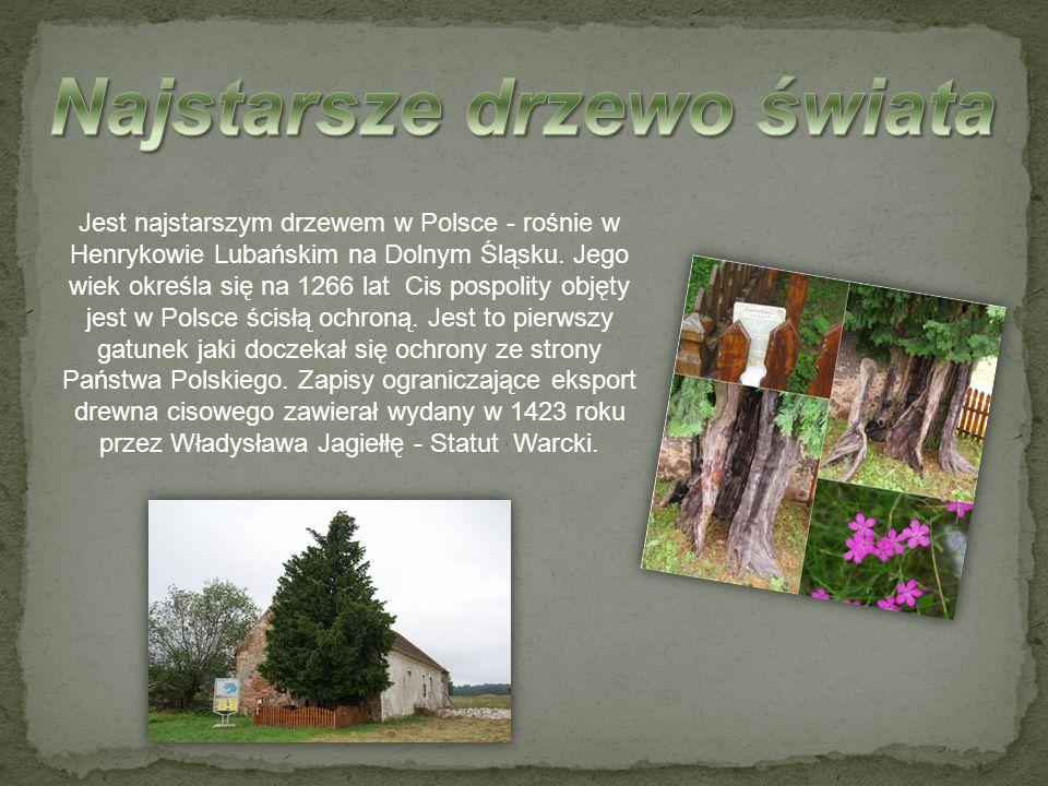 Jest najstarszym drzewem w Polsce - rośnie w Henrykowie Lubańskim na Dolnym Śląsku. Jego wiek określa się na 1266 lat Cis pospolity objęty jest w Pols