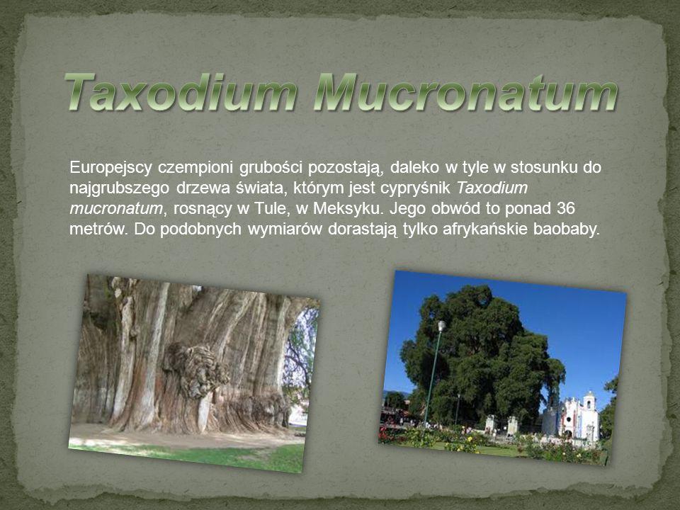 Europejscy czempioni grubości pozostają, daleko w tyle w stosunku do najgrubszego drzewa świata, którym jest cypryśnik Taxodium mucronatum, rosnący w