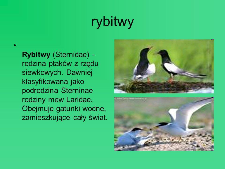 rybitwy Rybitwy (Sternidae) - rodzina ptaków z rzędu siewkowych. Dawniej klasyfikowana jako podrodzina Sterninae rodziny mew Laridae. Obejmuje gatunki