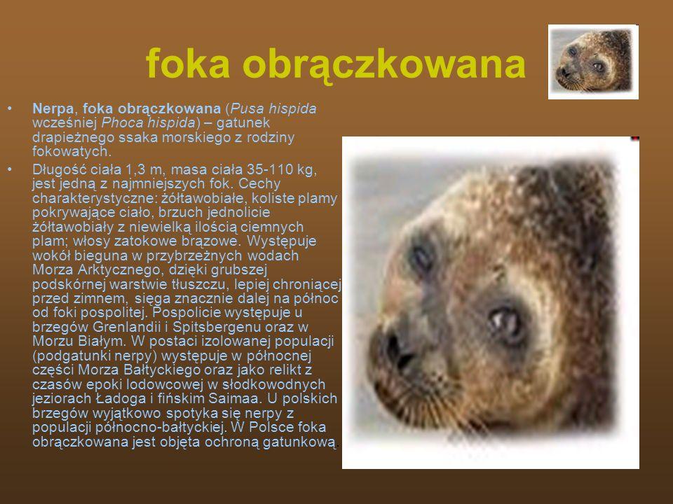 foka obrączkowana Nerpa, foka obrączkowana (Pusa hispida wcześniej Phoca hispida) – gatunek drapieżnego ssaka morskiego z rodziny fokowatych. Długość