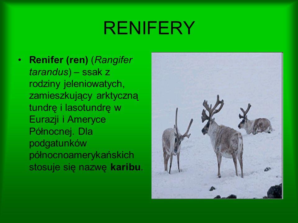 RENIFERY Renifer (ren) (Rangifer tarandus) – ssak z rodziny jeleniowatych, zamieszkujący arktyczną tundrę i lasotundrę w Eurazji i Ameryce Północnej.