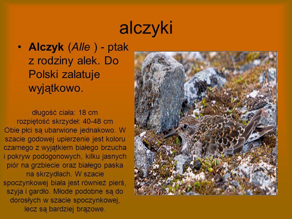 alczyki Alczyk (Alle ) - ptak z rodziny alek. Do Polski zalatuje wyjątkowo. długość ciała: 18 cm rozpiętość skrzydeł: 40-48 cm Obie płci są ubarwione