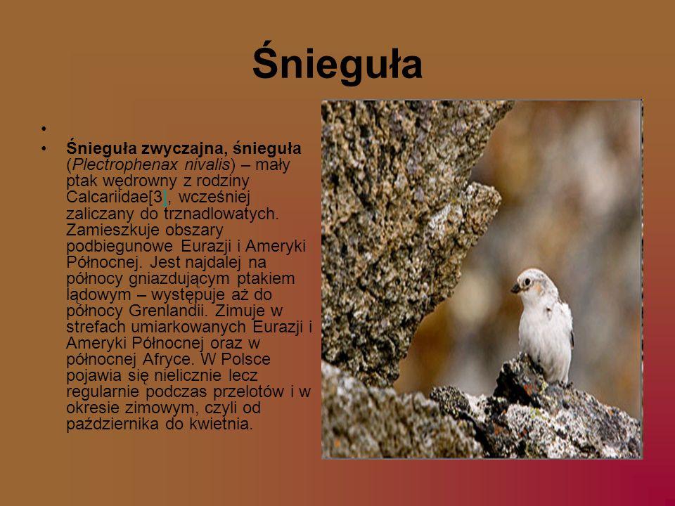 Śnieguła Śnieguła zwyczajna, śnieguła (Plectrophenax nivalis) – mały ptak wędrowny z rodziny Calcariidae[3], wcześniej zaliczany do trznadlowatych. Za