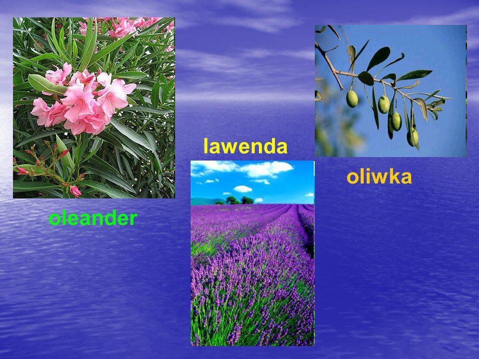 oleander lawenda oliwka