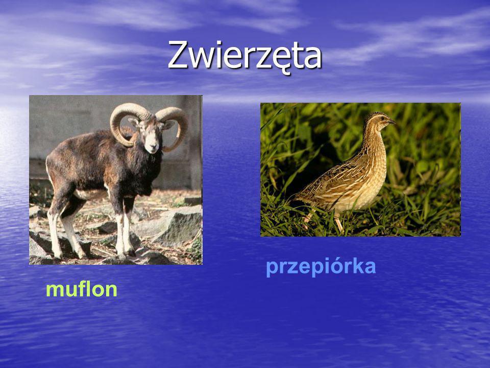 Zwierzęta muflon przepiórka