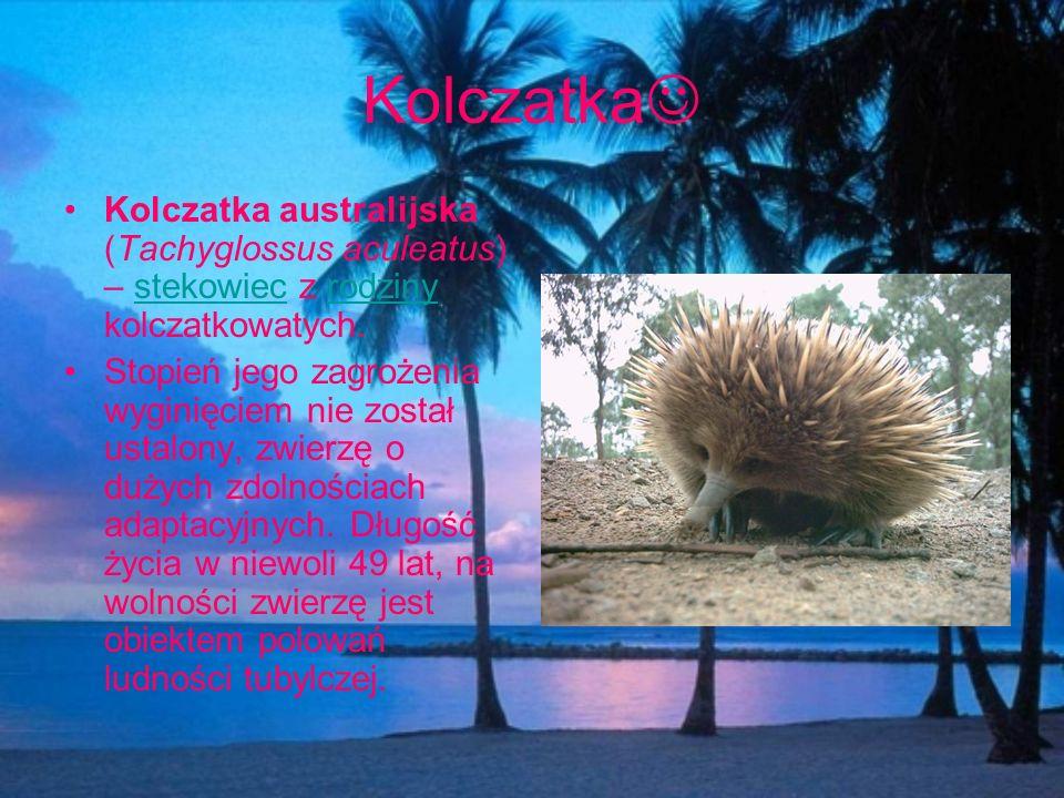 Kolczatka Kolczatka australijska (Tachyglossus aculeatus) – stekowiec z rodziny kolczatkowatych.stekowiecrodziny Stopień jego zagrożenia wyginięciem n