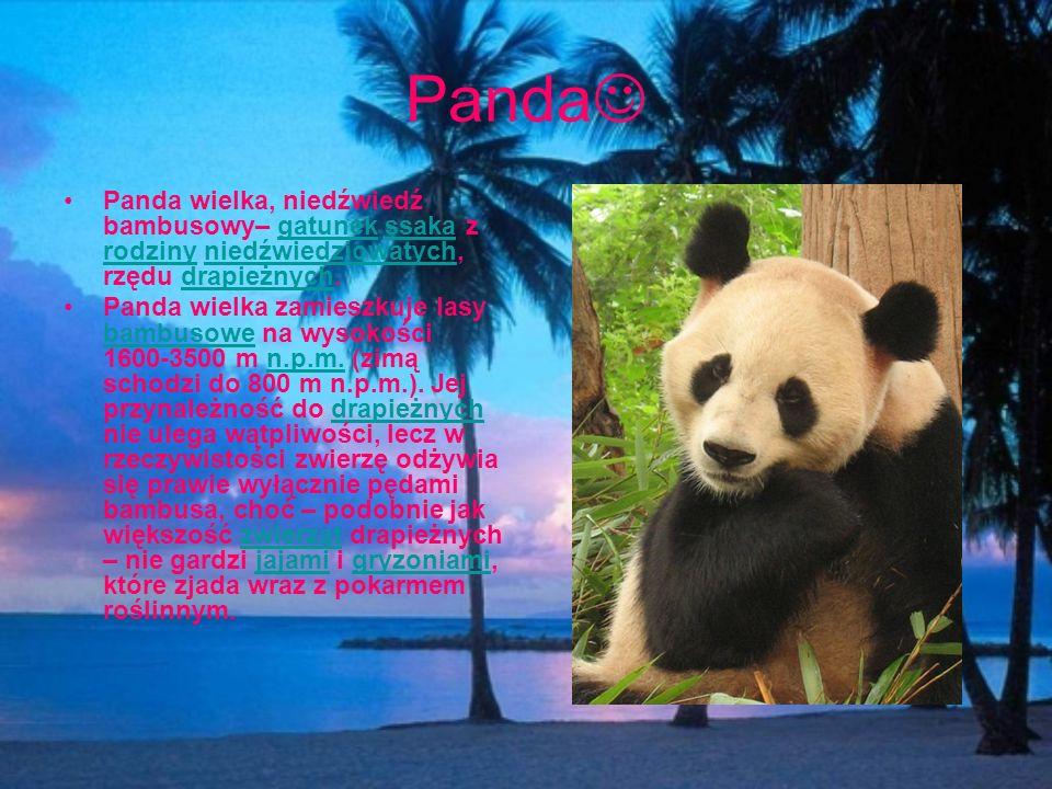 Panda Panda wielka, niedźwiedź bambusowy– gatunek ssaka z rodziny niedźwiedziowatych, rzędu drapieżnych.gatunekssaka rodzinyniedźwiedziowatychdrapieżn