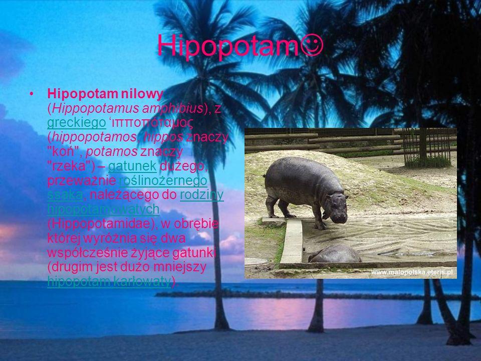 Hipopotam Hipopotam nilowy (Hippopotamus amphibius), z greckiego ιπποπόταμος (hippopotamos, hippos znaczy