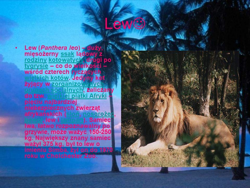 Lew Lew (Panthera leo) – duży, mięsożerny ssak lądowy z rodziny kotowatych, drugi po tygrysie – co do wielkości – wśród czterech ryczących wielkich ko