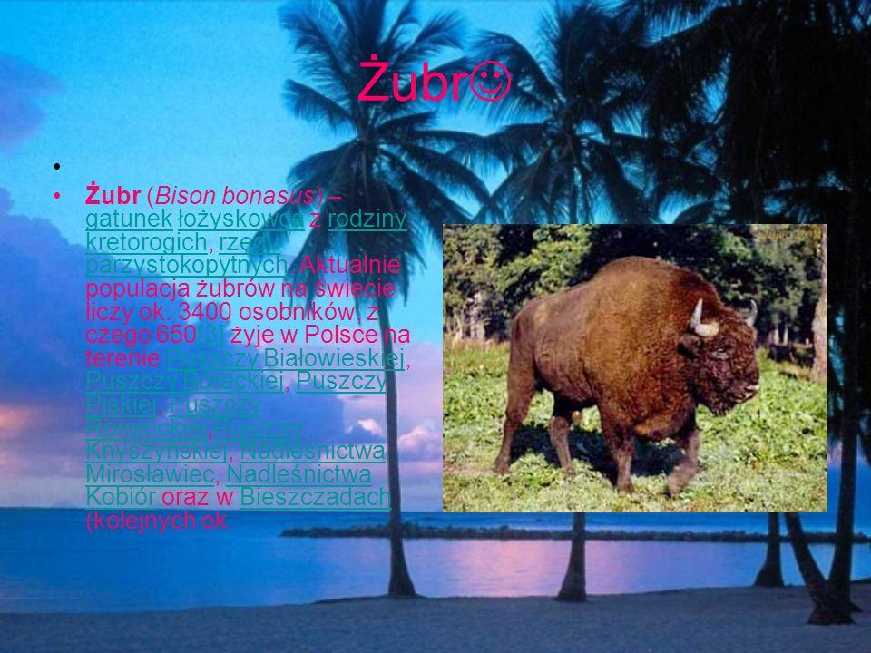 Żubr Żubr (Bison bonasus) – gatunek łożyskowca z rodziny krętorogich, rzędu parzystokopytnych. Aktualnie populacja żubrów na świecie liczy ok. 3400 os