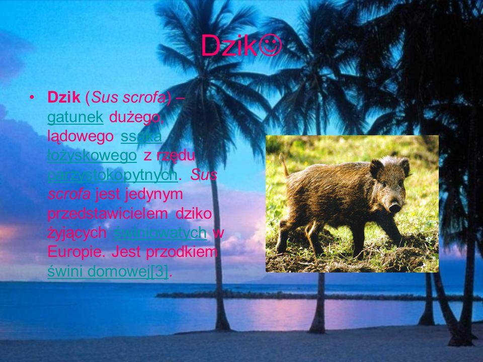 Dzik Dzik (Sus scrofa) – gatunek dużego, lądowego ssaka łożyskowego z rzędu parzystokopytnych. Sus scrofa jest jedynym przedstawicielem dziko żyjących