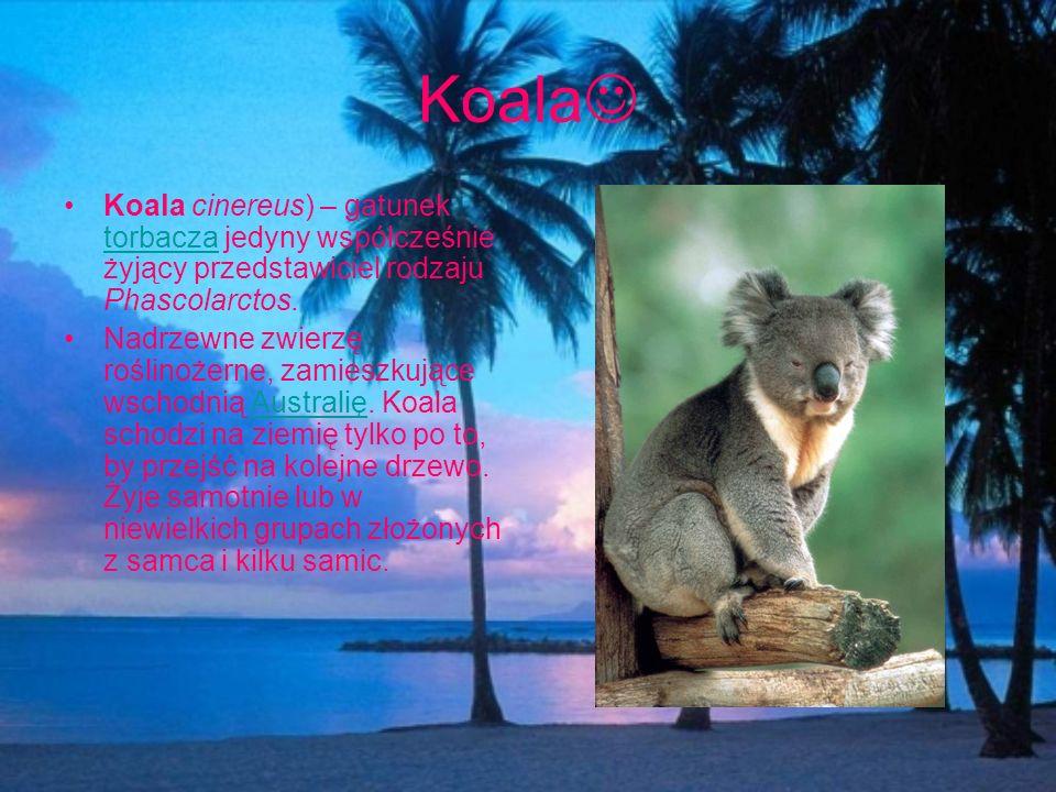 Koala Koala cinereus) – gatunek torbacza jedyny współcześnie żyjący przedstawiciel rodzaju Phascolarctos. torbacza Nadrzewne zwierzę roślinożerne, zam