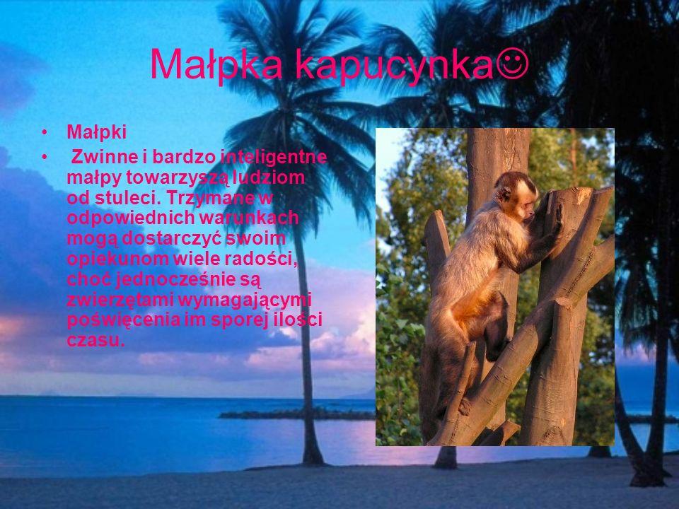 Małpka kapucynka Małpki Zwinne i bardzo inteligentne małpy towarzyszą ludziom od stuleci. Trzymane w odpowiednich warunkach mogą dostarczyć swoim opie