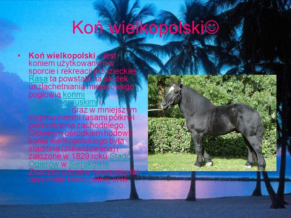 Koń wielkopolski Koń wielkopolski – jest koniem użytkowanym w sporcie i rekreacji jeździeckiej. Rasa ta powstała na skutek uszlachetniania miejscowego