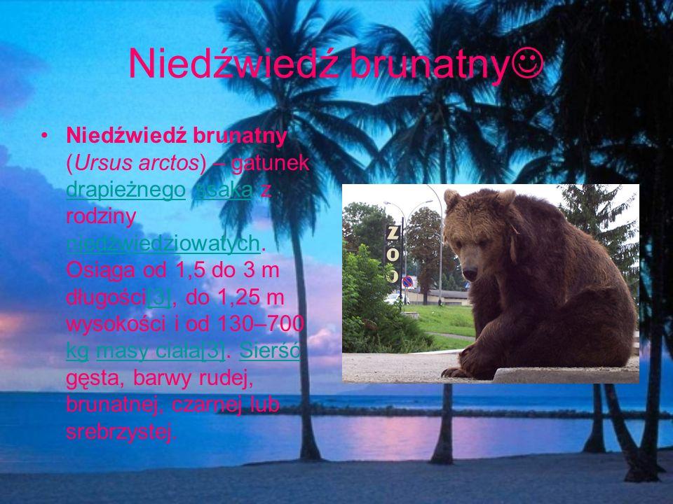 Niedźwiedź brunatny Niedźwiedź brunatny (Ursus arctos) – gatunek drapieżnego ssaka z rodziny niedźwiedziowatych. Osiąga od 1,5 do 3 m długości[3], do