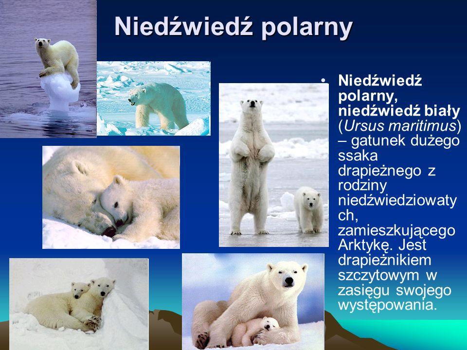 Niedźwiedź polarny Niedźwiedź polarny, niedźwiedź biały (Ursus maritimus) – gatunek dużego ssaka drapieżnego z rodziny niedźwiedziowaty ch, zamieszkuj